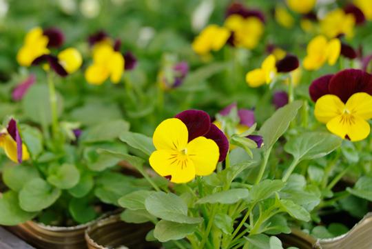 花, 彩菜みまさかにて