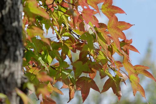 色づく葉を探して