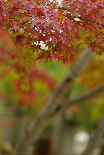 モミジ・紅葉・椛, PENTAX K20D + FA 77mm F1.8 Limited