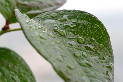 ブルーベリーの葉, PENTAX K20D + PENTAX-A MACRO 50mm F2.8
