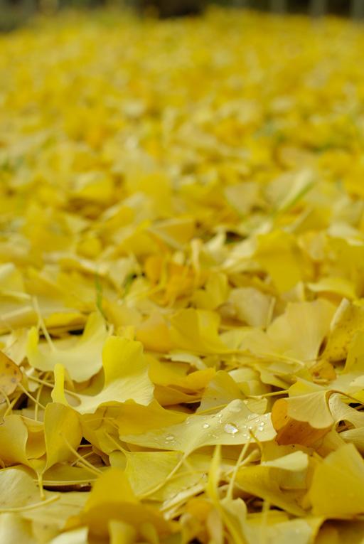 散りイチョウの絨毯,PENTAX K20D + Carl Zeiss Jena FLEKTOGON 2.4/35