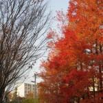 校門前のフウの木