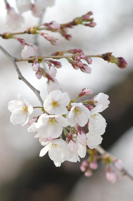 万博公園の桜開花2