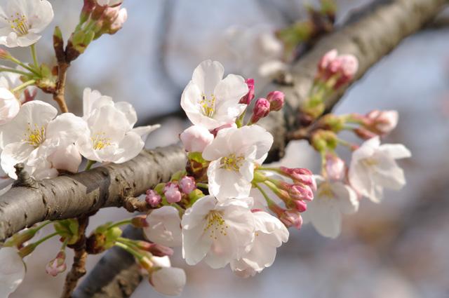 万博公園の桜開花1, Carl Zeiss Jena MC SONNAR 3.5/135にて