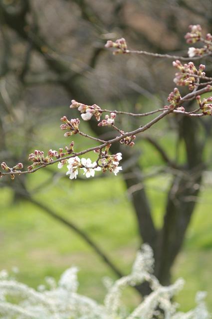 蕾ふくらむ桜の写真 - 万博公園桜まつり