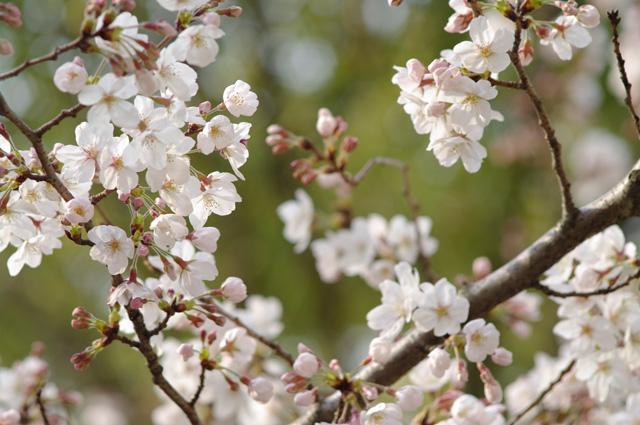 万博公園の桜1 Carl Zeiss Jena MC SONNAR 3.5/135にて