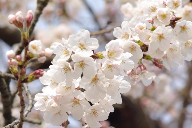 万博公園の桜3