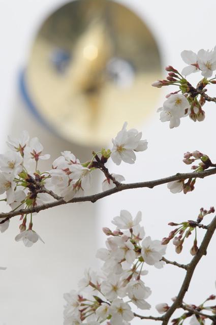 万博公園の桜2