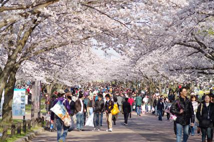 万博公園東大路の桜並木