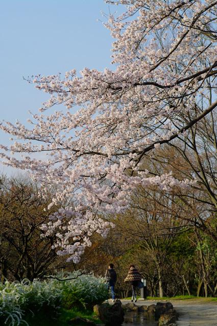 万博公園 梅林近くの桜