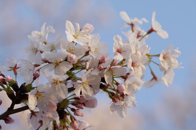 桜の写真 FA77mmLimitedにて