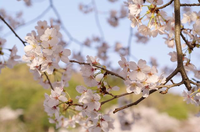 五月山公園 桜の写真1