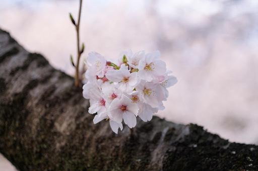 五月山公園 桜の写真2
