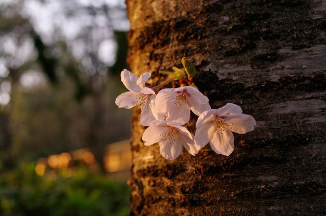 夕暮れの桜@五月山公園