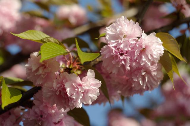 八重桜(ヤエザクラ)の写真2