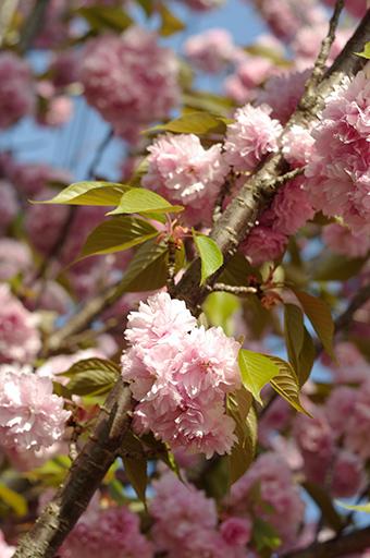 八重桜(ヤエザクラ)の写真1