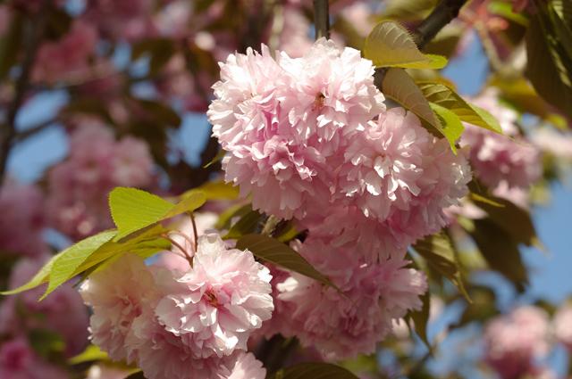 八重桜(ヤエザクラ)の写真