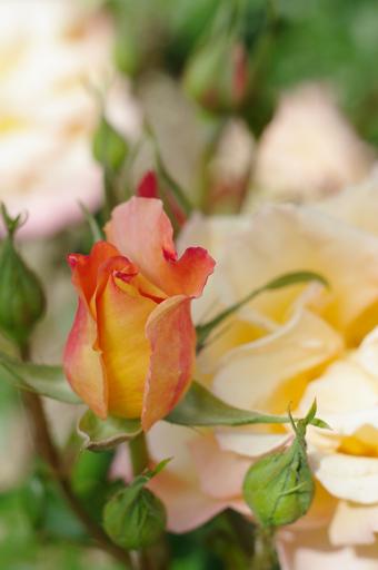 バラの写真3:若園バラ園にて