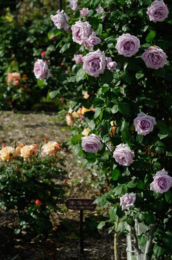 バラの写真2:茨木市若園公園バラ園にて